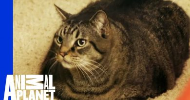 Beau Nugget The Cat Starts His Difficult Weight Loss Journey | My Big Fat Pet Makeover