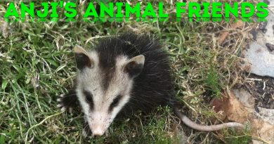 Anji's Animals Friends #3: Baby Opossums!
